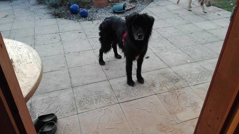 EBENE - x labrador/ noir env 11 ans  - Asso Remember Me - Roumanie  Ebene410
