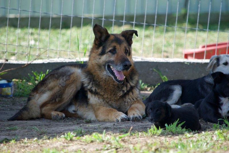 ENEE - mâle croisé Berger Allemand de taille grande, né environ août 2008 (PASCANI) - En FALD chez LiliDG (14) - Page 2 Enee610
