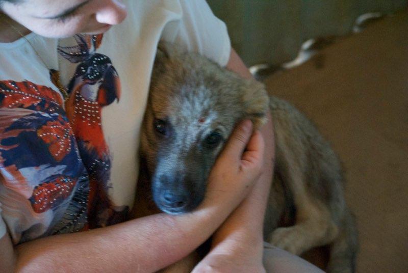 ALTO - chiot mâle - typé chien loup tchéchoslovaque - né environ mars 2017 - REMEMBER ME LAND  - décédé Mezzo10