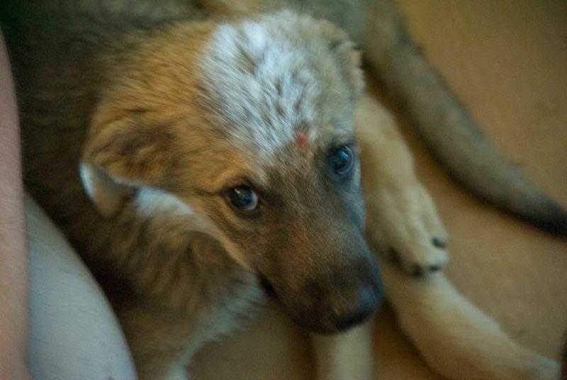 ALTO - chiot mâle - typé chien loup tchéchoslovaque - né environ mars 2017 - REMEMBER ME LAND  - décédé Mezzo110