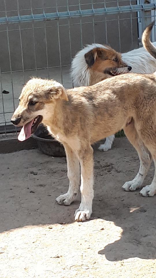 MEZZO- chiot male typé chien loup tchéchoslovaque- né environ en mars 2017 - REMEMBER ME LAND  - adopté par Katy (55) Mezzo12