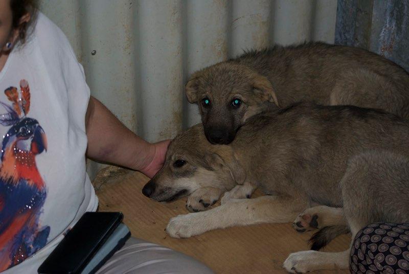 MEZZO- chiot male typé chien loup tchéchoslovaque- né environ en mars 2017 - REMEMBER ME LAND  - adopté par Katy (55) Mezzo_11