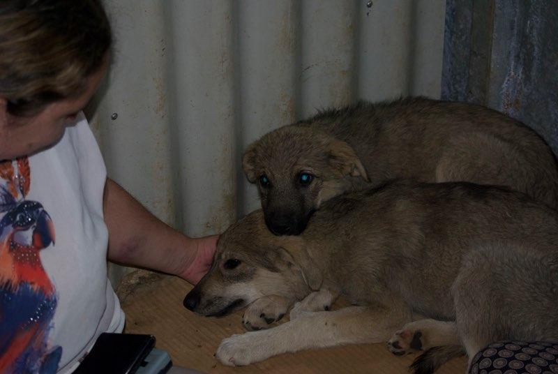 ALTO - chiot mâle - typé chien loup tchéchoslovaque - né environ mars 2017 - REMEMBER ME LAND  - décédé Mezzo_12