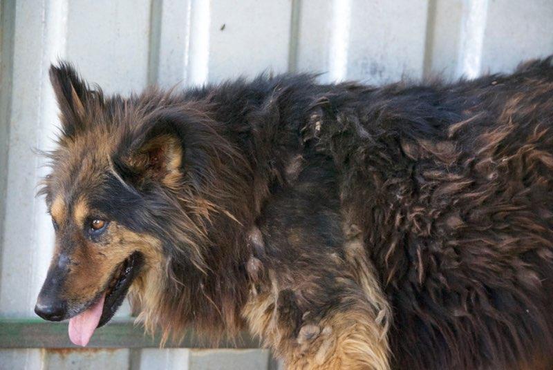 ORGANZA, femelle croisée berger allemand âgée taille moyenne née environ 2002 (Pascani)- REMEMBER ME LAND - En FALD chez lakota03 (03)-Decedee - Page 3 Organz18