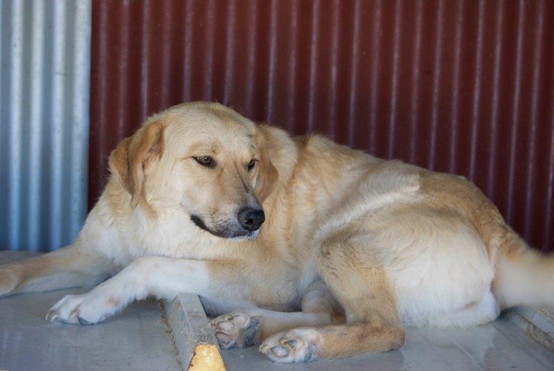 SHYVA - femelle croisée Labrador de taille moyenne à grande, née environ en février 2014 - (Pascani) adoptée par Aurélie (Belgique) - DECEDEE Shiva310
