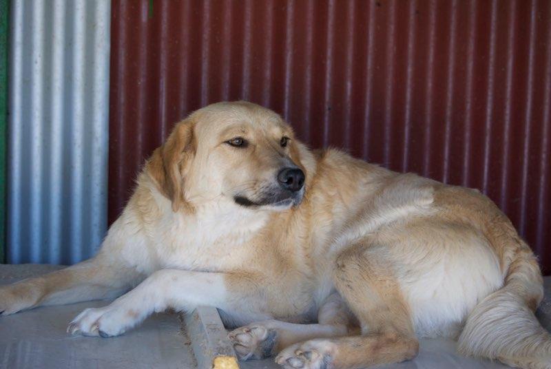 SHYVA - femelle croisée Labrador de taille moyenne à grande, née environ en février 2014 - (Pascani) adoptée par Aurélie (Belgique) - DECEDEE Shyva210