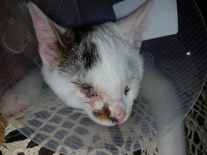 Mr SPOCK - chaton mâle, aveugle, né environ en mars 2017 - chez Lucian - Réservé FA par Abysse - Adopté par Valérie (92) Spock10