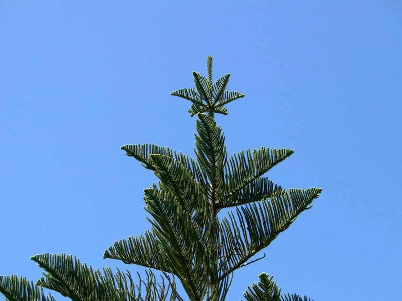 Araucaria heterophylla - pin de Norfolk 1_arau10