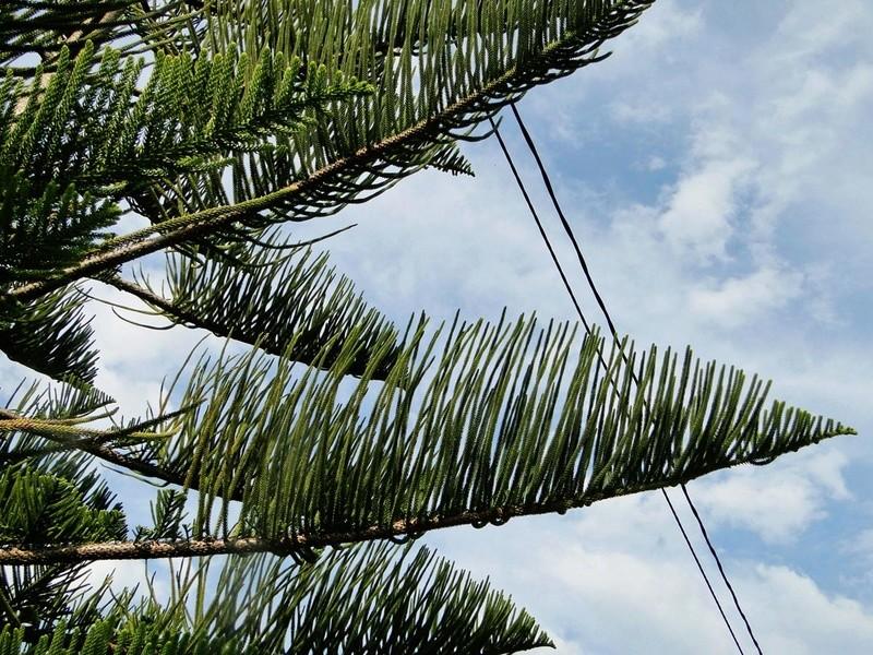 Araucaria heterophylla - pin de Norfolk 3_dsc010