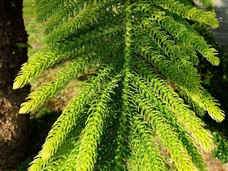 Araucaria heterophylla - pin de Norfolk 4_dsc010