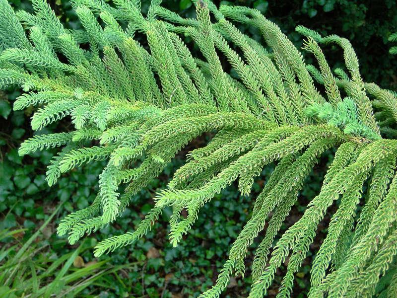 Araucaria heterophylla - pin de Norfolk Arauca10
