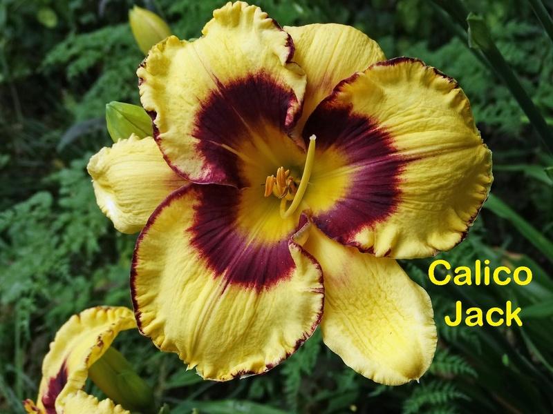 Hemerocallis - des variétés - Page 7 Calico10