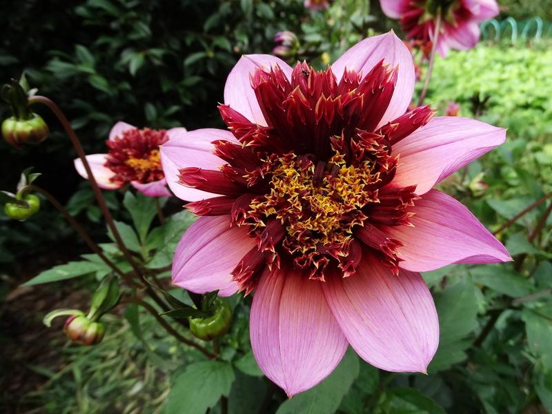 jardins d'été, jardins se plaisent - Page 2 Dahlia10