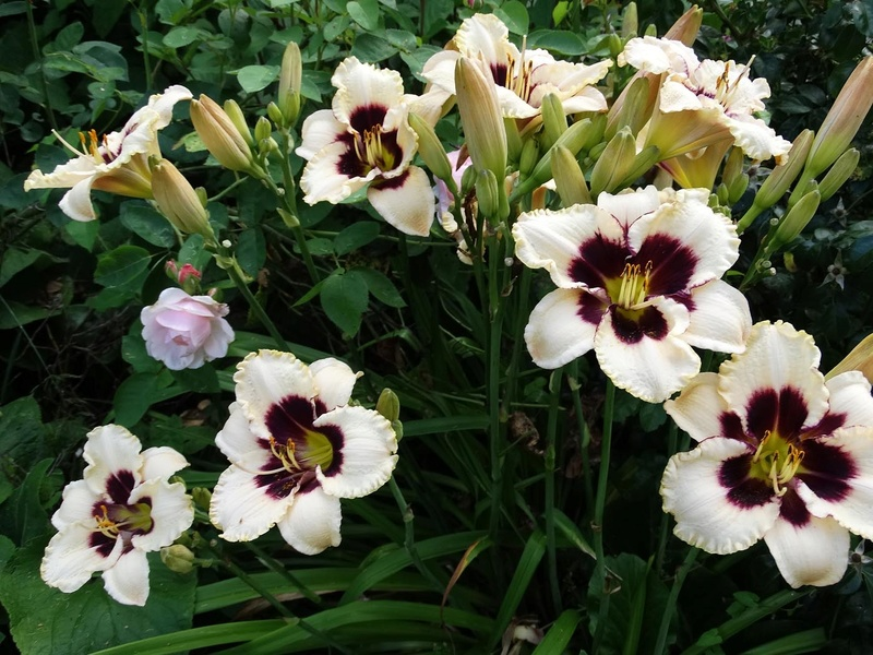 Hemerocallis - des variétés - Page 7 H_pian10