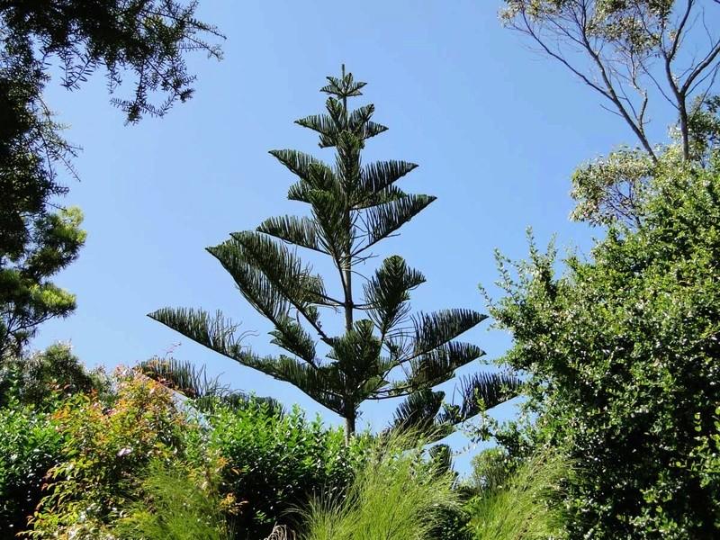 Araucaria heterophylla - pin de Norfolk Jardin10