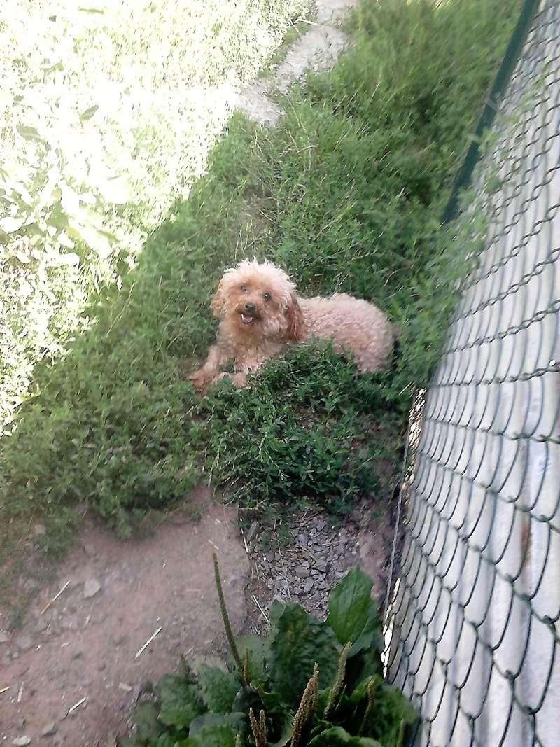 Happy chienne caniche toy 5 ANS et 3.5kg ( Dept 23 ) Dsc_0310