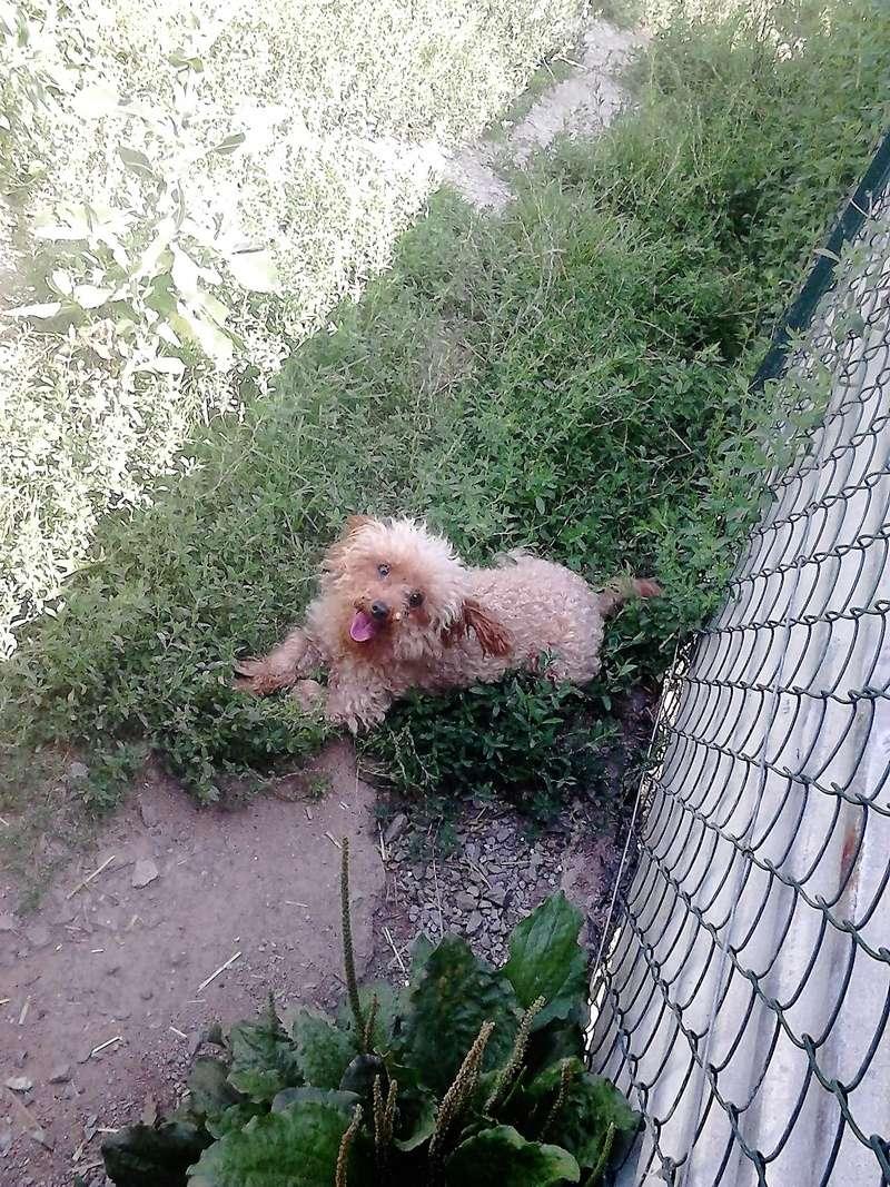 Happy chienne caniche toy 5 ANS et 3.5kg ( Dept 23 ) Dsc_0311