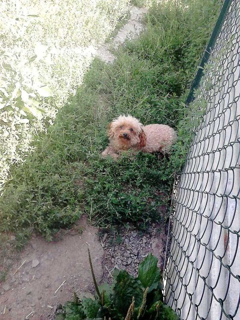 Happy chienne caniche toy 5 ANS et 3.5kg ( Dept 23 ) Dsc_0312