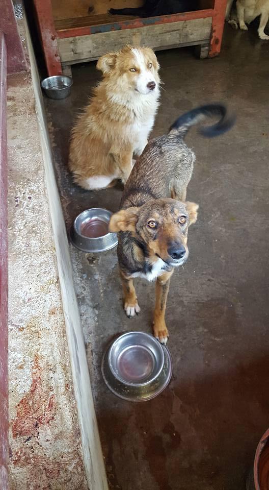IONY MX Taille moyen 12kg , né ? -FOURRIERE ORASTIE-URGENCE EUTHA-Adopté via Refuge Pas si Bêtes- 20245310