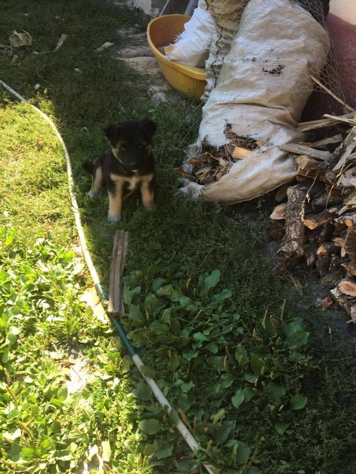 QUITO ,M-X Berger ,né 05/2017 (RUE/ ORASTIE )-SUR TERRAIN VAGUE-Adopté via Résa Refuge pas si bêtes  20527610