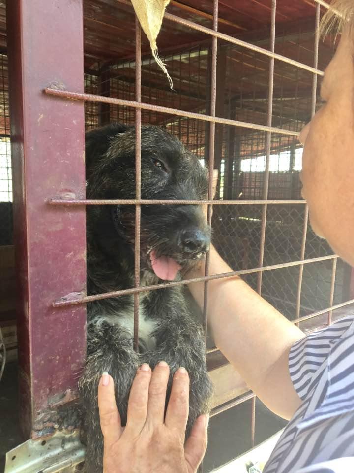 KHIRA F-X Irish wolfhound, née 2016, 38KG (ORASTIE) En pension (Départ41) 20663810