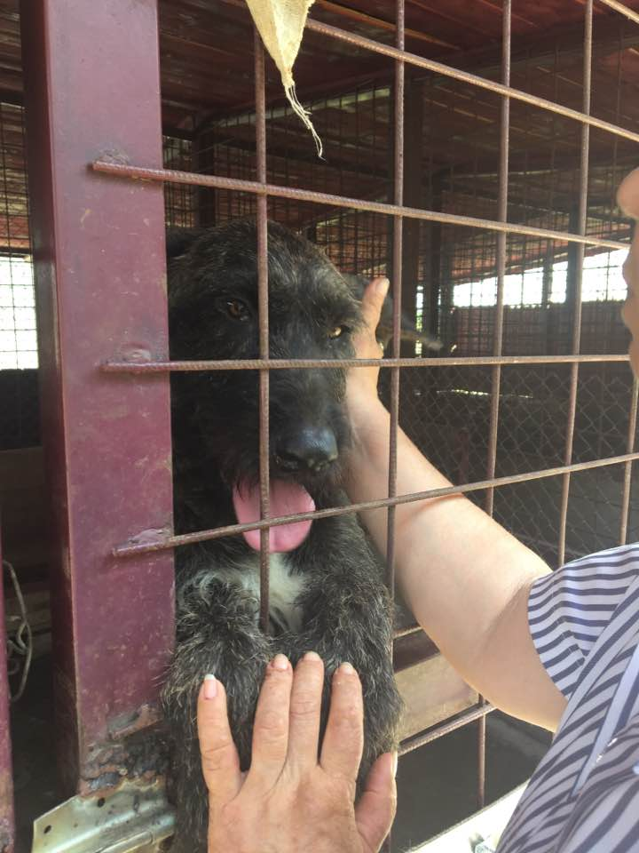 KHIRA F-X Irish wolfhound, née 2016, 38KG (ORASTIE) En pension (Départ41) 20729410
