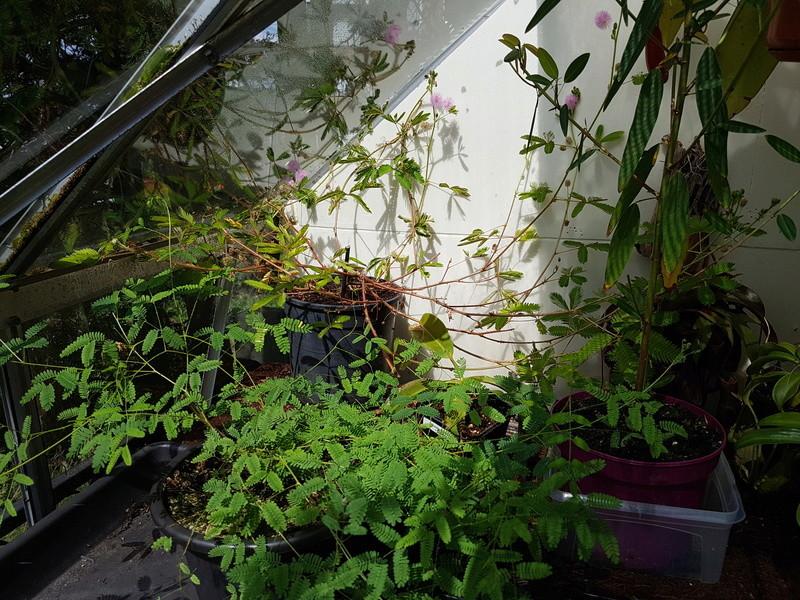 Qui a le plus grand Mimosa Pudica 20170811