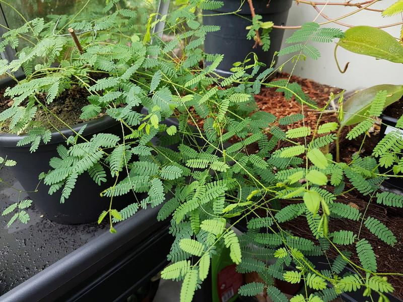 Découverte de la Schrankia uncinata, une plante sensitive 20170831