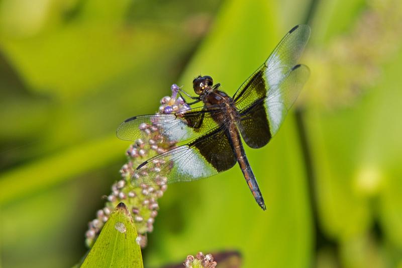 Les libellules B996110