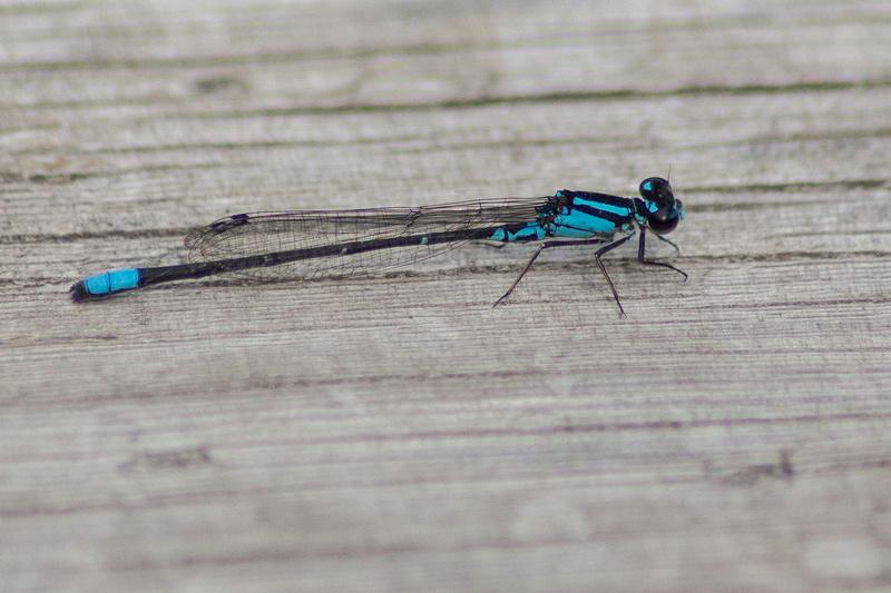 Les libellules C025710