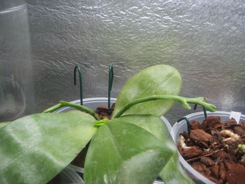 Recherche un ou une passionnée de phalaenopsis pulchra Img_0338