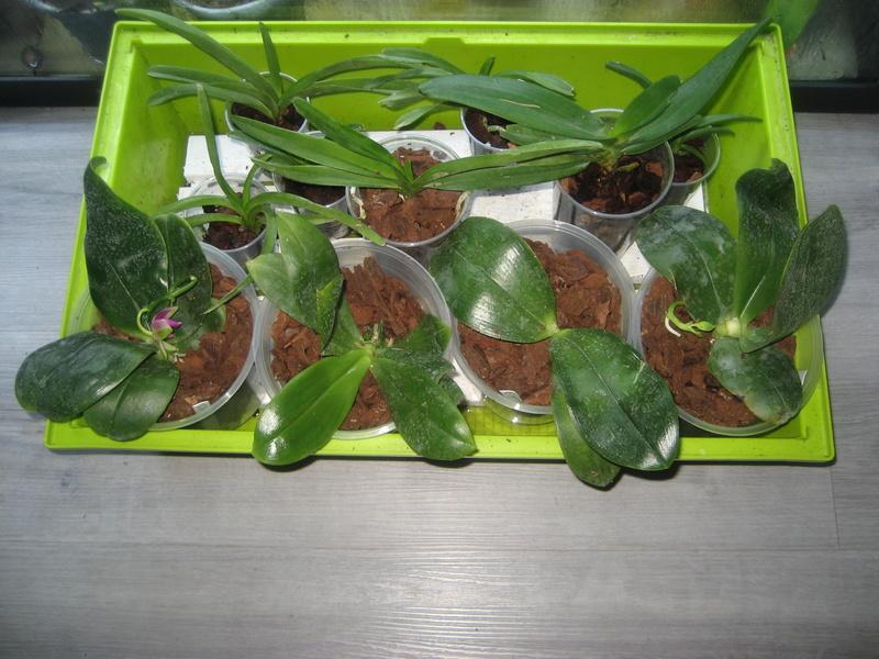 Recherche un ou une passionnée de phalaenopsis pulchra Img_0339