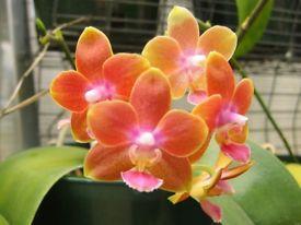 Recherche un ou une passionnée de phalaenopsis pulchra Orchi_10