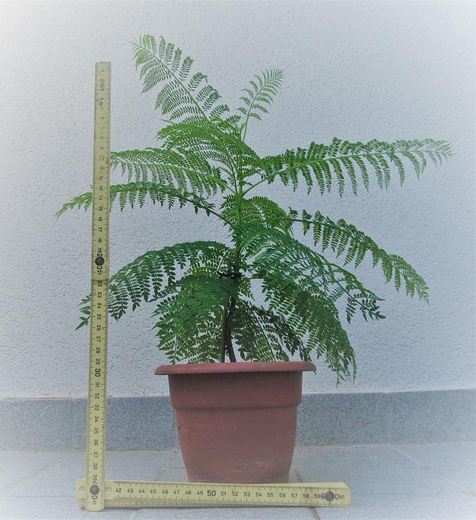 Jacaranda Mimosifolia 2017_710