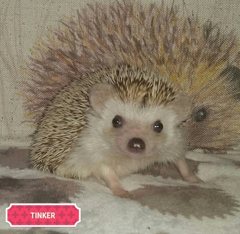 All my hedgies xx 2017-011