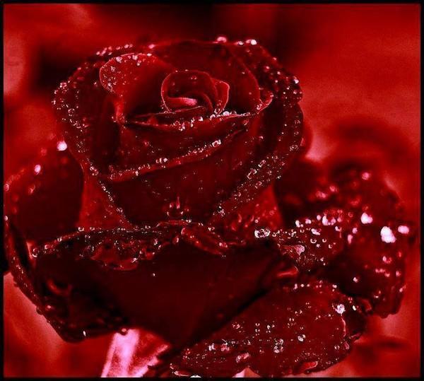 Une rose à offrir n°2 - Page 18 1f84df10