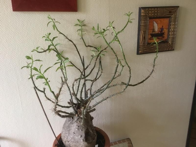 Pachypodium succulentum  - Page 10 Img_3410