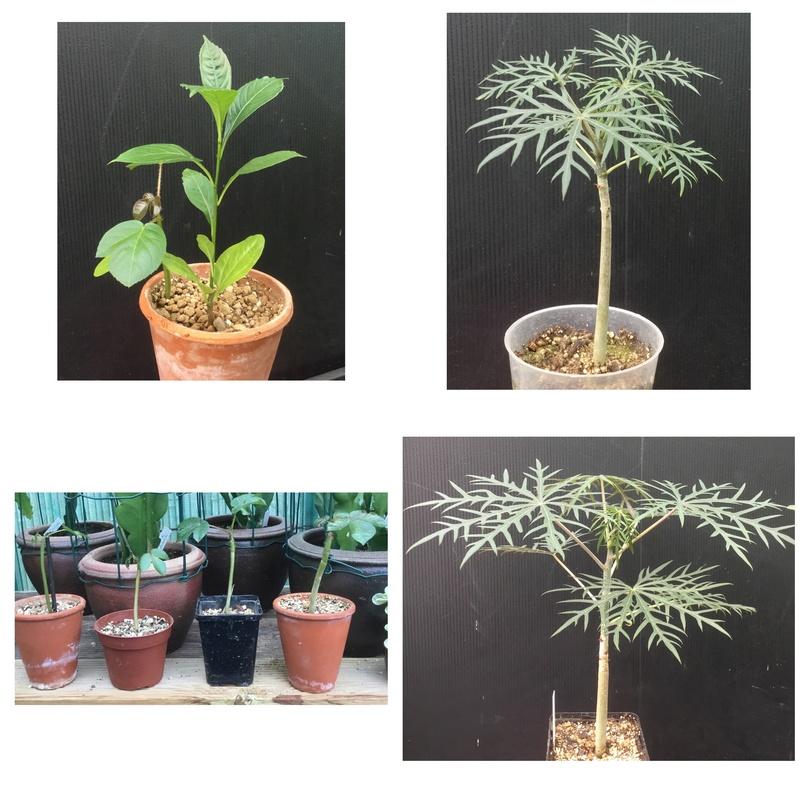 Des nouvelles des semis de Tikati  Img_3511