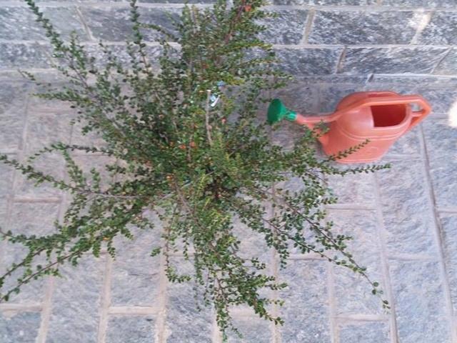 cotoneaster horizontalis futuro bonsai 19251210