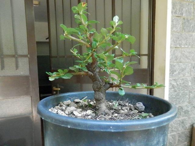 cotoneaster horizontalis futuro bonsai 19679810