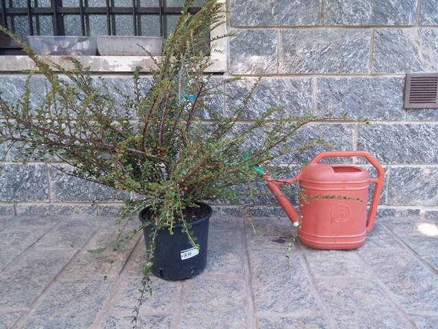 cotoneaster horizontalis futuro bonsai 19758010