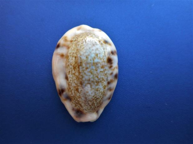 Erronea caurica mayottensis - Vachon & Verneau, 2017 Dscn0926