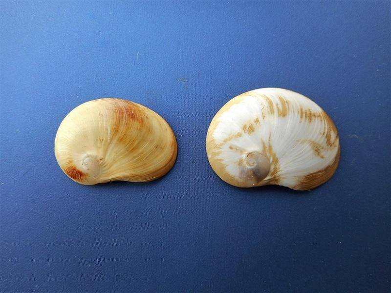Velutinidae - Coriocella nigra - (Blainville, 1824) Dscn1121