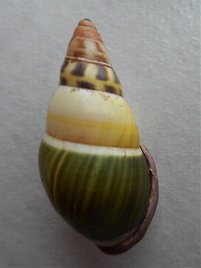 Amphidromus abbasorum Thach, 2017 Dscn1222