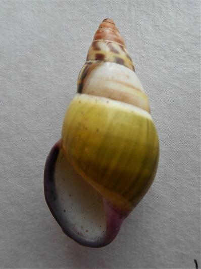 Amphidromus abbasorum Thach, 2017 Dscn1223