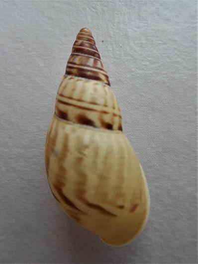 Amphidromus abbasi Chan & Siong, 2008 Dscn1224