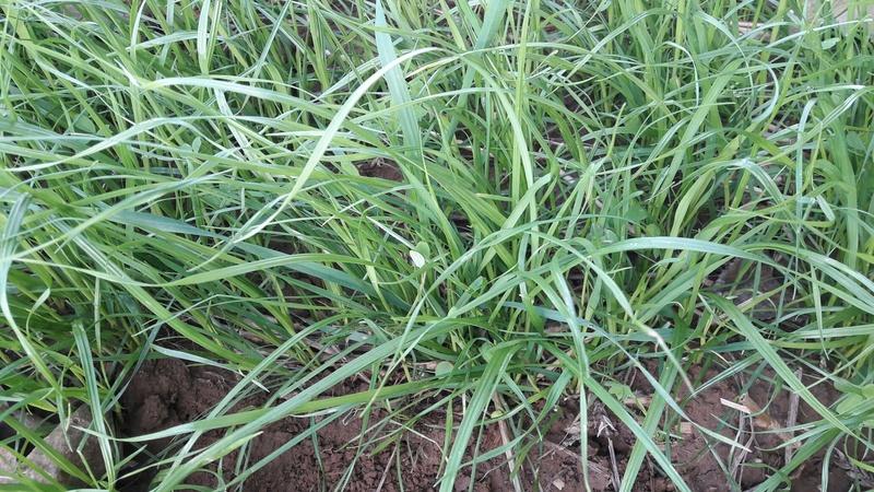 Photographie pied de raygrass. Grospl10