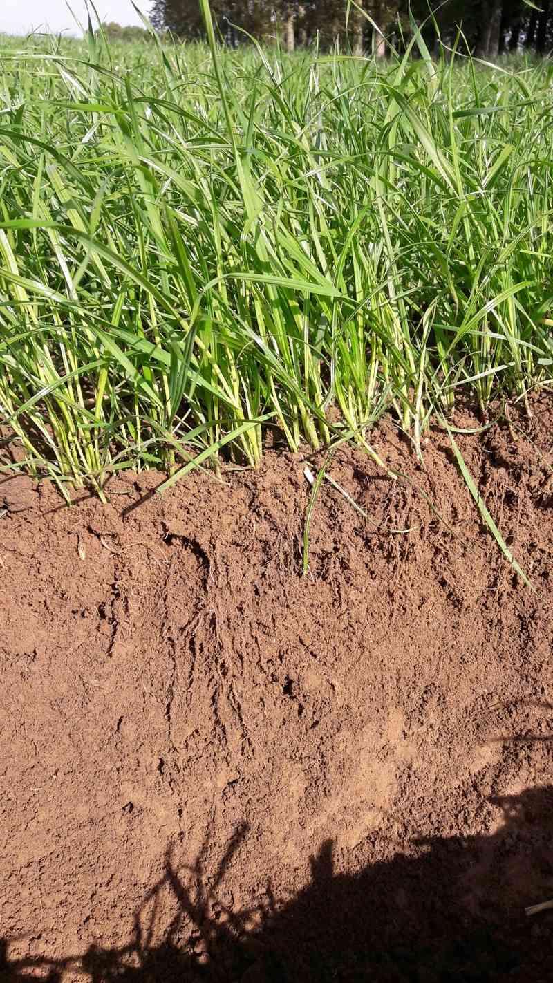 Photographie pied de raygrass. Profil10