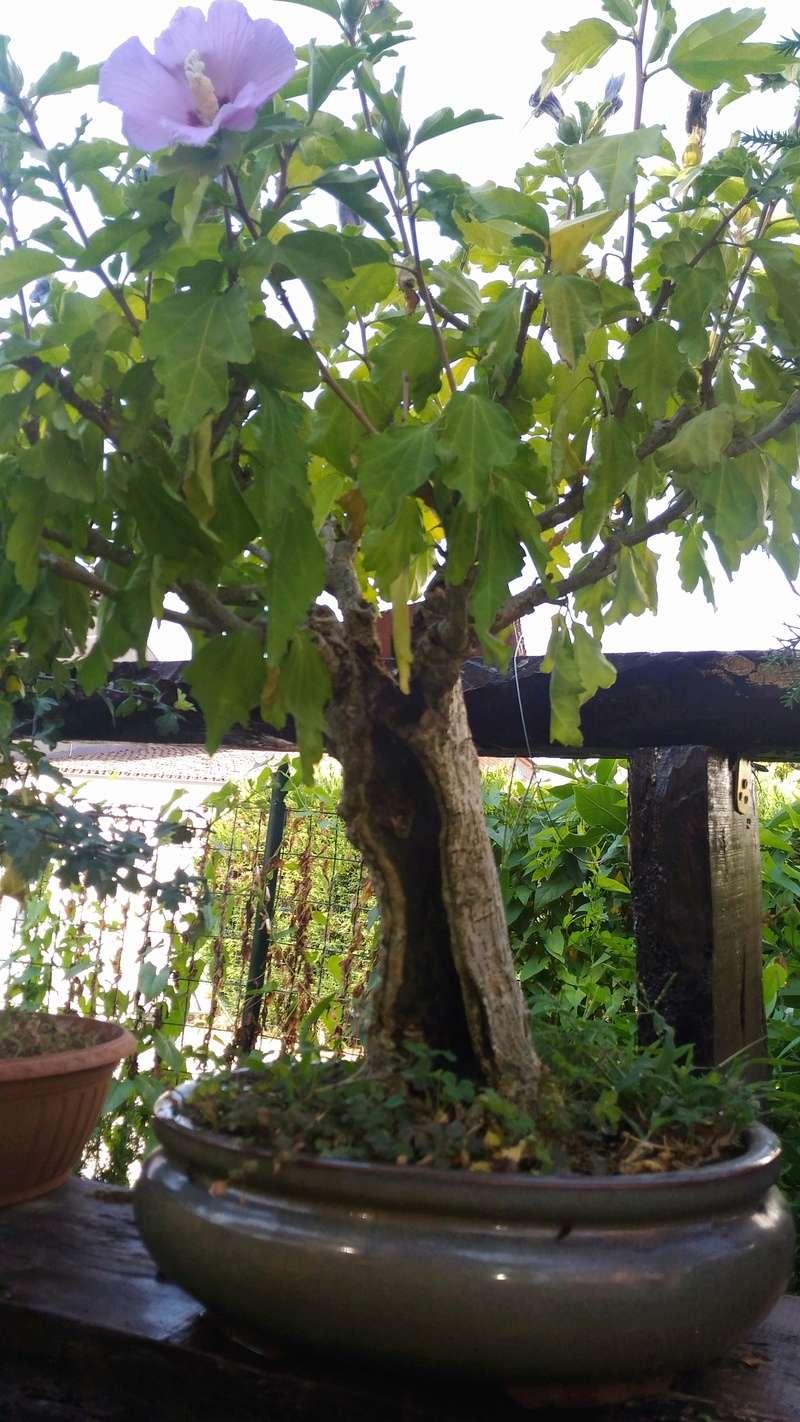 W.I.P. Hibiscus Syriacus scopa... a tronco cavo - Pagina 4 P_201710
