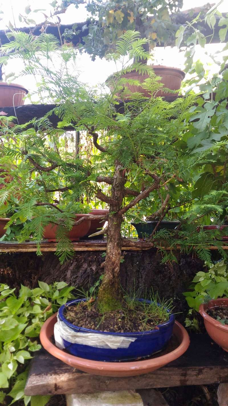 WIP Metasequoia P_201711